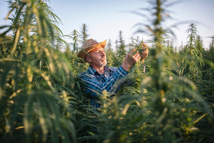 A cannabis farmer in a field inspects one of his crops.