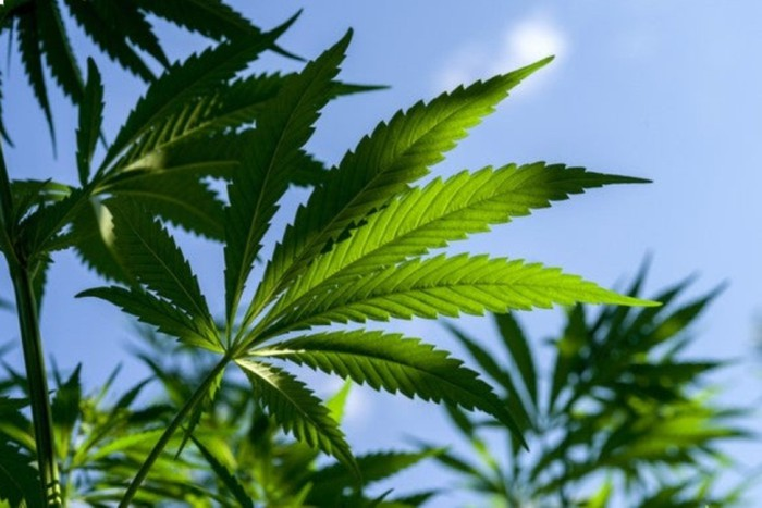 Tops of several cannabis plants with blue sky in background.