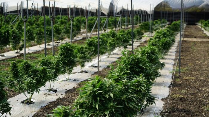 Marijuana cultivation farm with long rows of plants.
