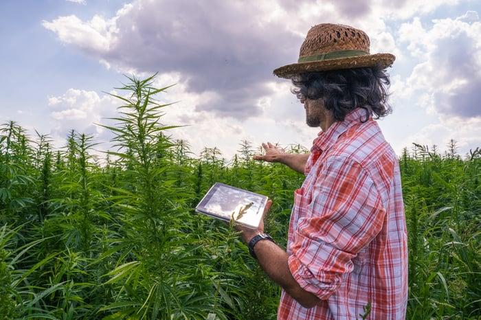 A farmer holding a tablet in a hemp field.