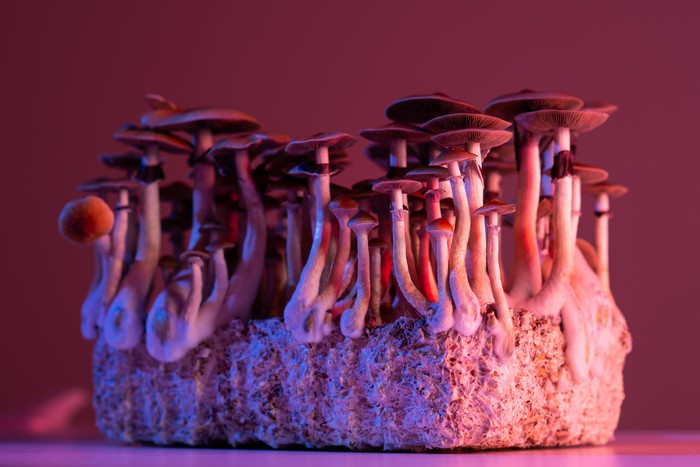 Psilocybin magic mushrooms under a red glow.