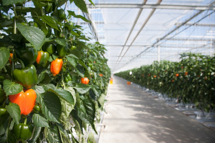 Indoor farming of tomatoes.