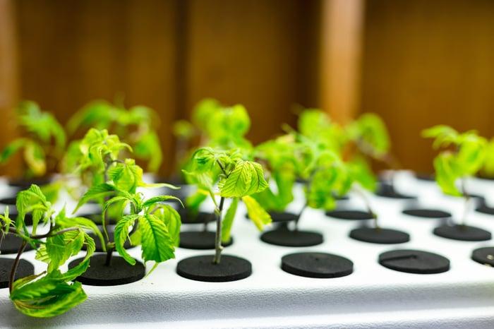 Marijuana plants growing in hydroponic system.
