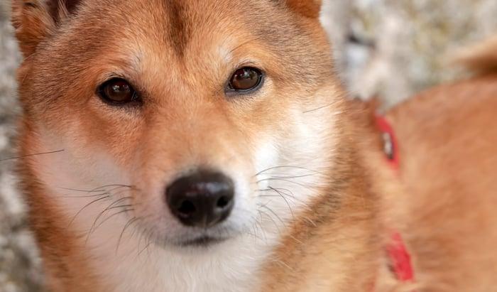 A Shiba Inu puppy looking at the camera.