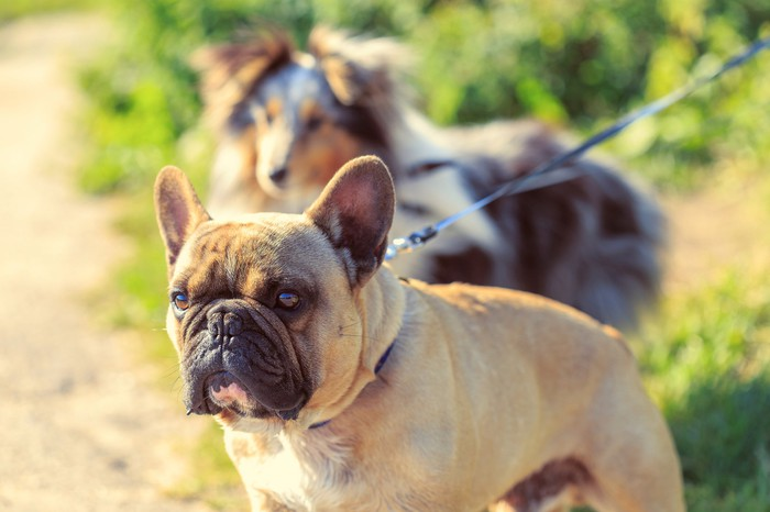 Two dogs, a collie and a French bulldog, on leashes during a walk.