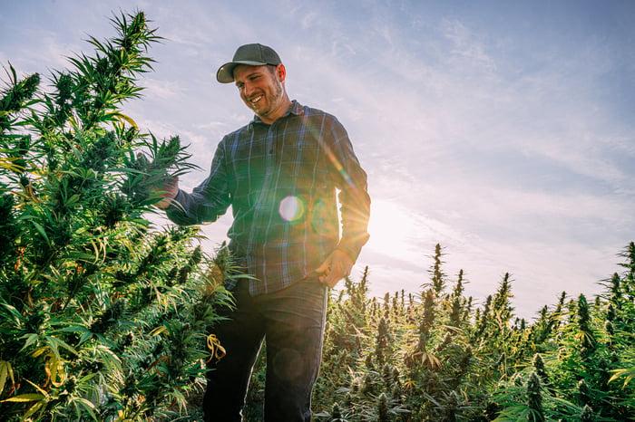 Man in marijuana field.