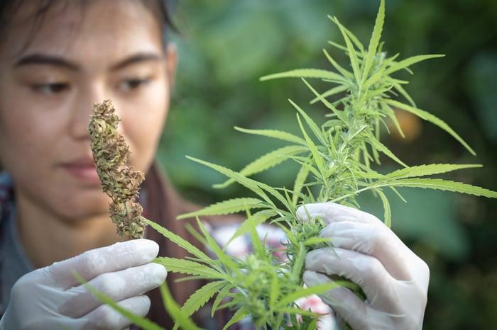 A farmer examining a cannabis plant.