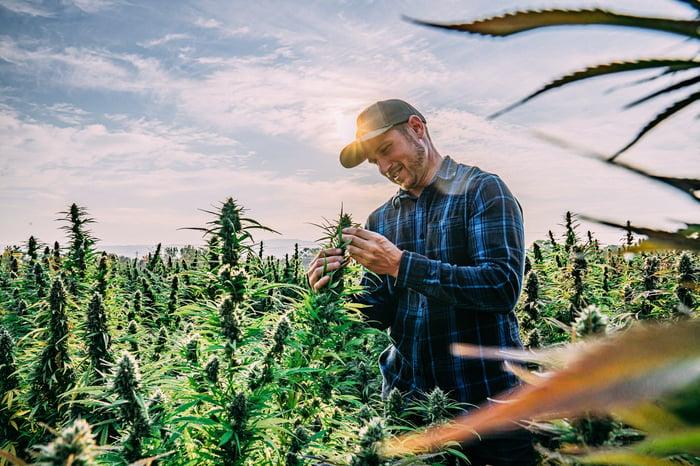 Un agriculteur inspecte une plante de cannabis dans une ferme de culture extérieure.